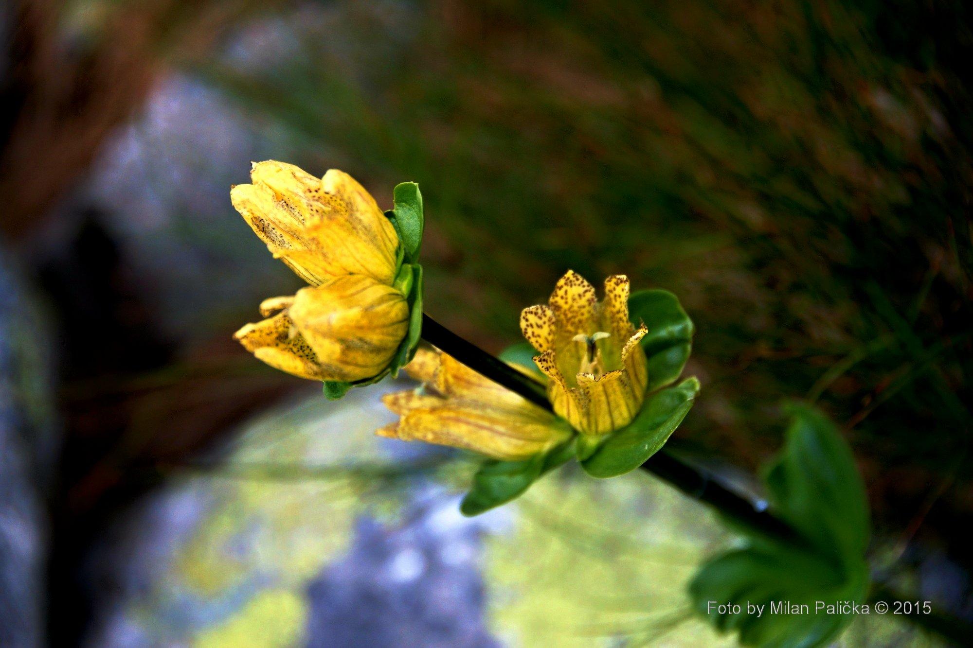 Žlutý hořec